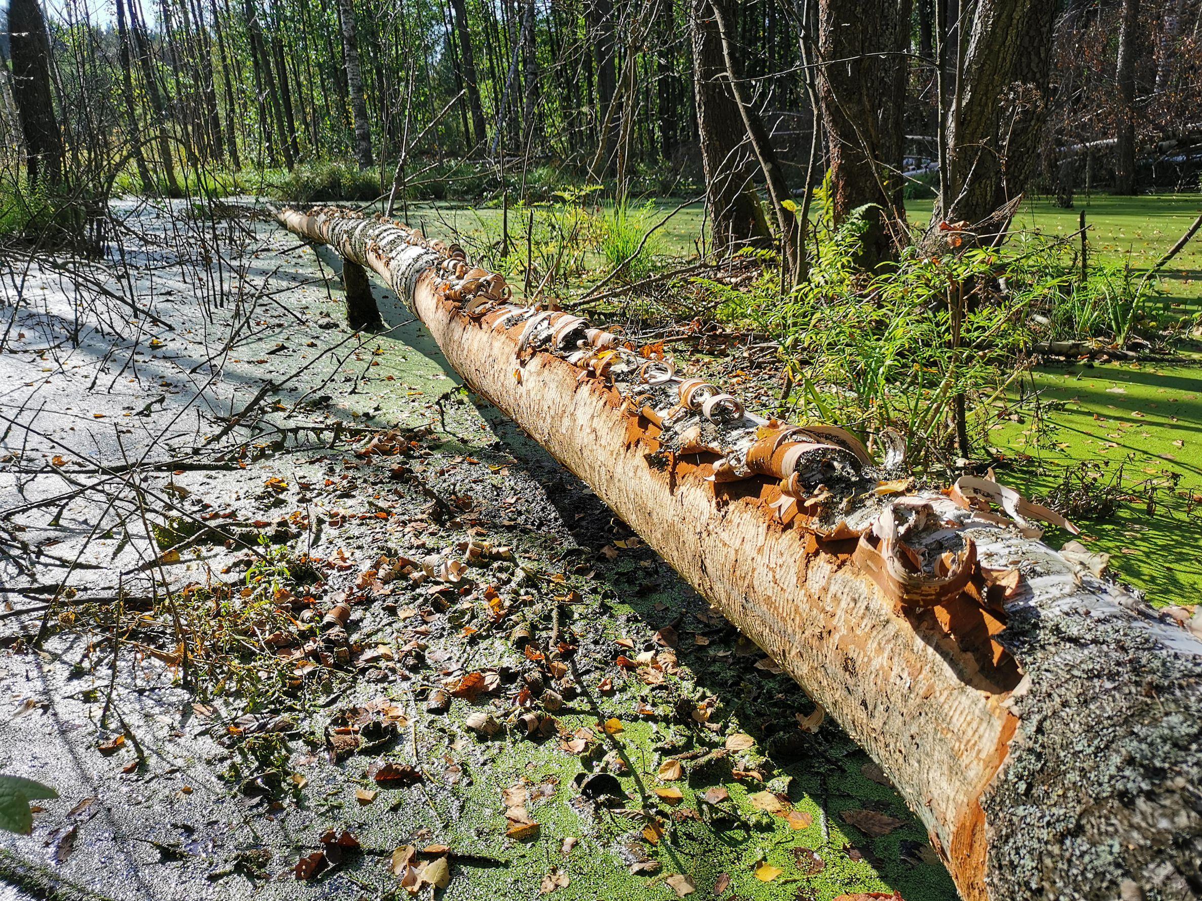 bobry-drevesina